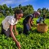 Kvinnor skördar på ett teplantage.