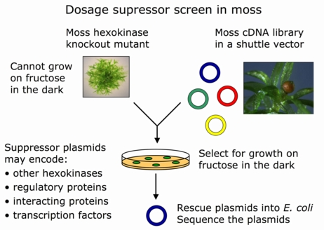 Gene dosage suppression in moss