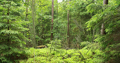 Heterogeneous forest in Tönnersjöheden. Photo Mats Hannerz.