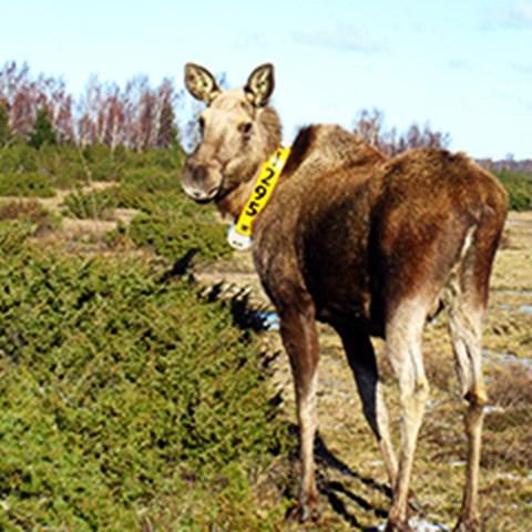Älgko på Öland med ett GPS-halsband. Foto: Fredrik Stenbacka, SLU