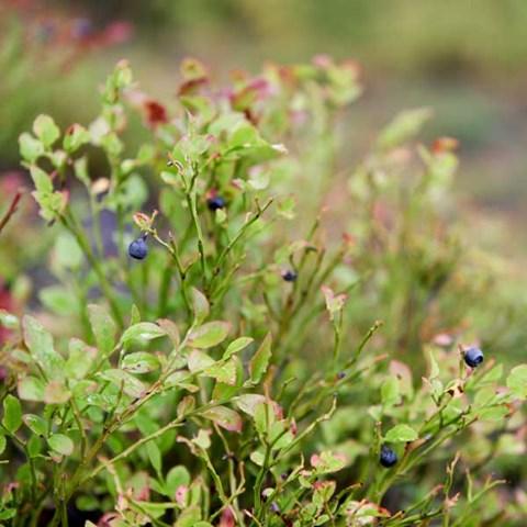 Blåbär. Foto: Jenny Svennås-Gillner, SLU.