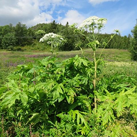 Tromsöloka, Heracleum persicum. Foto: Mora Aronsson, SLU