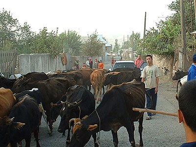 Cattle_Tajikistan_Photo_Ulf_Magnusson_web-880.jpg