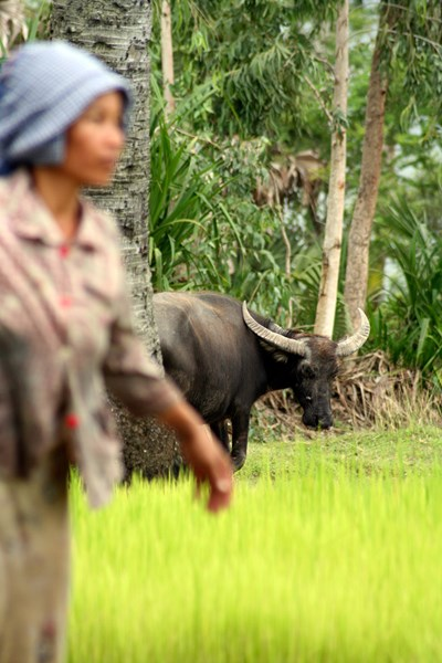 An asian woman on a field with a water buffalo, photo.