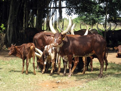 African cows outdoors, photo.