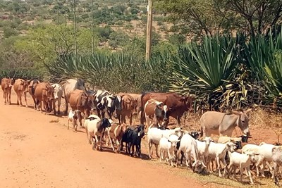Migrating cows and goats.