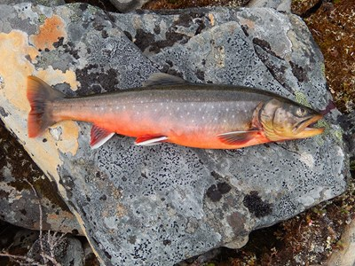 Char caught at Nordkynhalvøya in Norway. Photo.