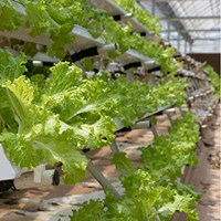 Cultivation of salad using hydroponics in a greenhouse. Photo.