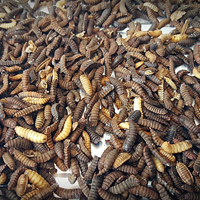 Black soldier fly larvae. Photo.