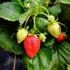 strawberry-cultivation.jpg