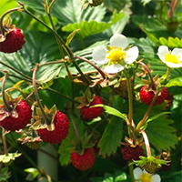 woodland-strawberries.png