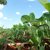 Soybeans frowing on a field under a blue sky, photo.