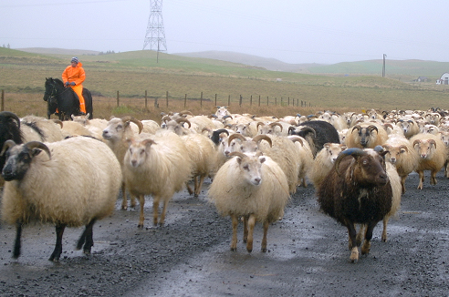 Sheep herding in Iceland. Photo: Helga Ögmundardóttir