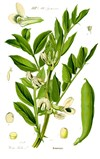 Illustration_Vicia_faba1.jpg