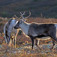 Two reindeers in the scandinavian mountains in fall. Photo.