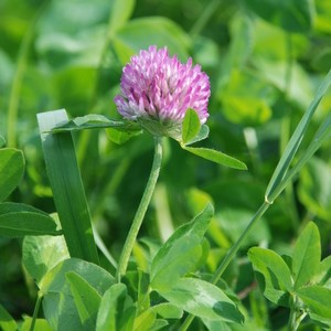 Red clover in field. Photo.