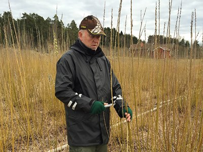 A man is measuring a salix twig, photo.