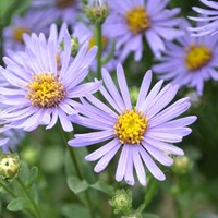 Close-up of the flower of Italian aster 'Axel Tallner'. The flower has purple ray flowers and yellow disc flowers. Colour photo.