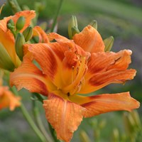 Color photo depicting the common daylily (Hemerocallis fulva) 'Frösvidal' in bloom. In the middle of the photo is the orange flower. It has double layers of petals.