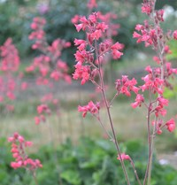 Heuchera sanguinea 'Smedsberget', ingress.JPG