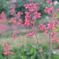 Flowering plants of the coralbells 'Smedsberget'. Colour photo.