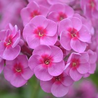 Close-up of the flower of the garden phlox 'Morfar Albert'. The flowers are pink and almost circular with a darker pink eye. Colour photo.