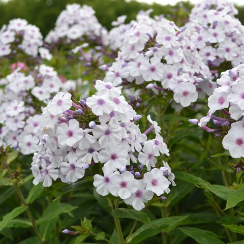 Flowers of the garden phlox 'Ingeborg från Nybro'. The flowers are white with a purple eye. Colour photo.