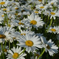 Flowering plants of the shasta daisy 'Bröllopsgåvan'. The picture shows about twenty flowers in bloom.