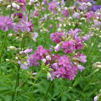 Flowering plants of the soapwort cultivar 'Kvinnsgröta'. The cultivar has dark pink flowers. Colour photo.