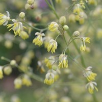Close-up of the lesser meadow rue 'Rospiggen'. Colour photo.