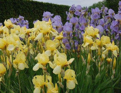 "Color photo of garden irises in bloom on ""The call for perennial's"" trial field. In the foreground is an iris with yellow flowers and behind it an iris with bright purple flowers."
