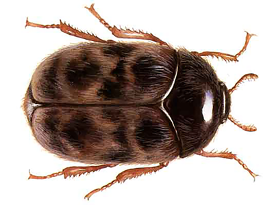A brown beetle. Illustration.