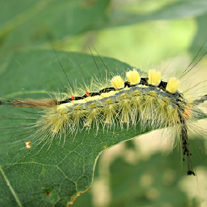 A spiny moth larvae on a green leaf. Photo.