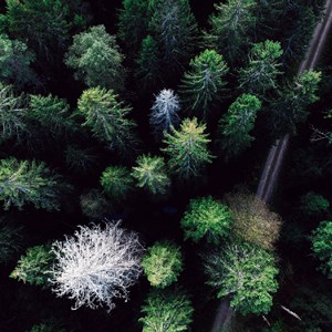 Aerial picture of a coniferous forest, photo.