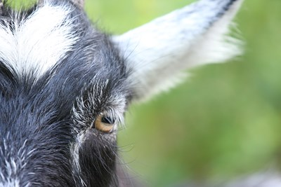 Close-up of a goat. Photo.