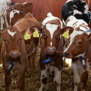 Calves looking at the camera, photo