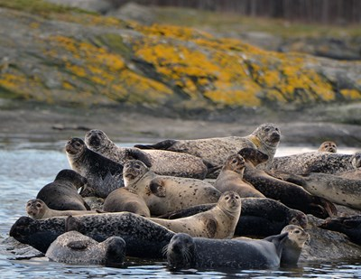 Seals on a rock. Photo.