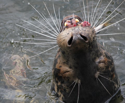 Grey_seal_eating_herring_1_Karl_Lundström_web.jpg