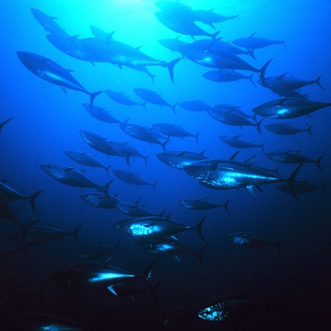 Group_of_tuna_Danilo_Caldrone_Courtesy of United Nations Food and Agriculture Organization .jpg