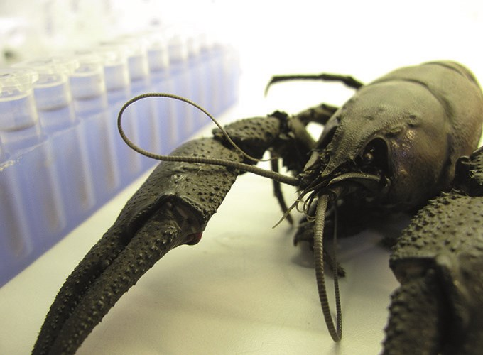 Noble crayfish is analyzed at FiskGen. Photo.