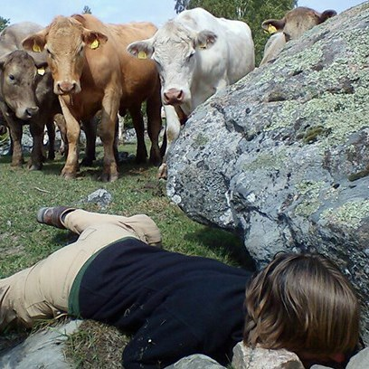 Cows are watching a person looking for something under a stone.