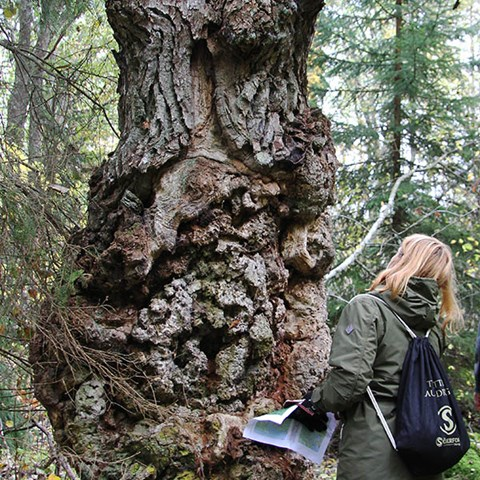 Women looking at a reaaly old tree.