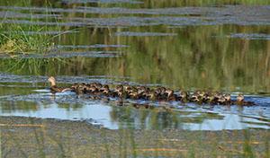 Gräsandshona med många ungar.