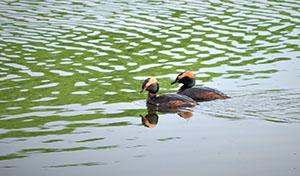 Två simmande svarthakedoppingar.