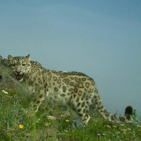 Snow-leopard-nyhet.jpg