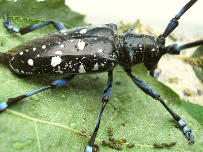 Black beetle with white spots.