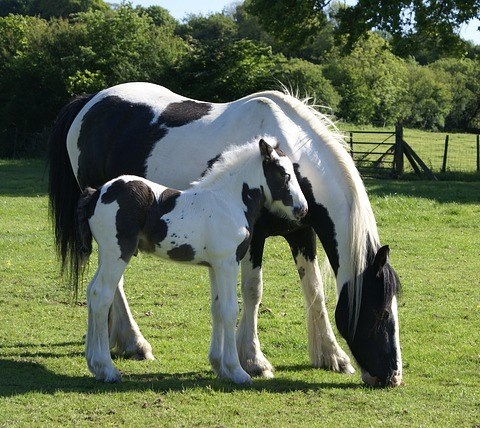 Tracing The Genetic Origin Of Mane Growth In Domestic Horses An