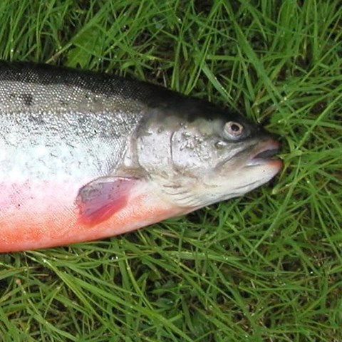 Breeding program for Arctic Char and Rainbow Trout