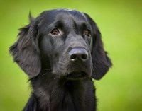 flatcoated-retriever-438010_640.jpg