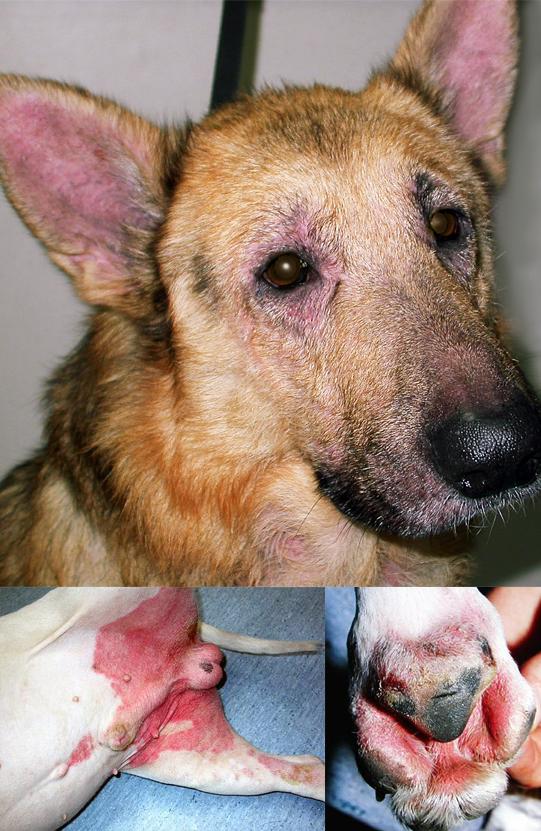 atopisk dermatitis hund
